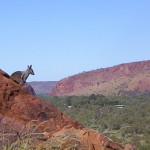 Giant rock wallaby looms over Heavitree Gap!
